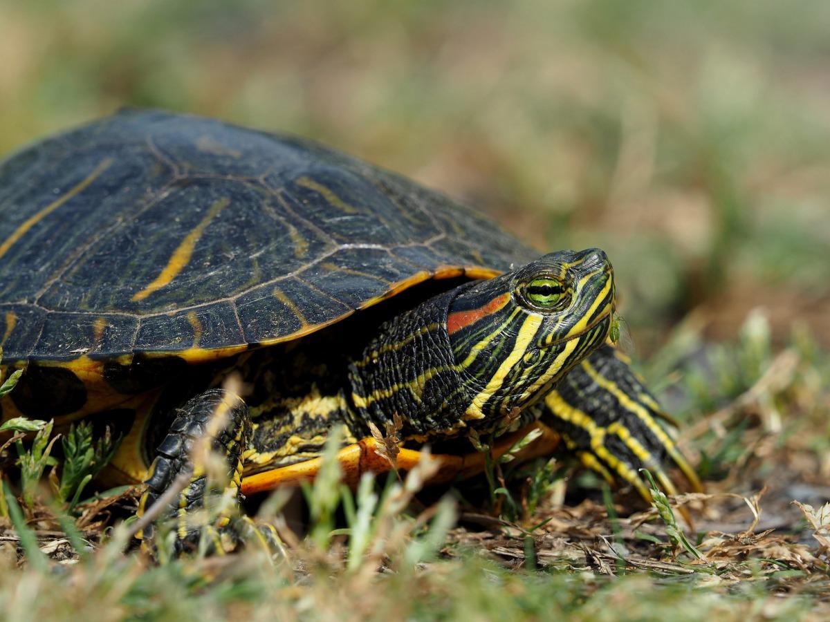 圖為一隻巴西龜。巴西龜的特色是眼睛旁邊有一條紅色的線,故又名紅耳龜或紅耳彩龜(red-eared slider turtle)。 Photo: Greg Peterson