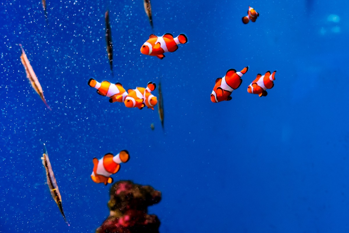 參與「拯救尼莫」計畫的小學校長表示,這項計畫是另一種讓孩子們能學到珊瑚礁生態的方式。 Photo: Toshihiro Gamo