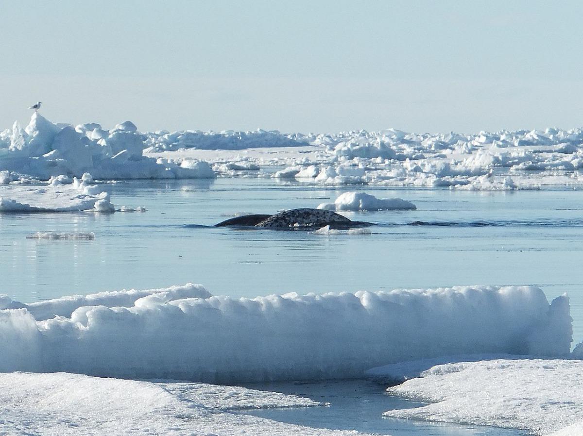 對於通常生活在北極圈的獨角鯨,為什麼會出現在偏南的加拿大聖羅倫斯河,GREMM並沒有給出一定的答案。 Photo: Paul Gierszewski