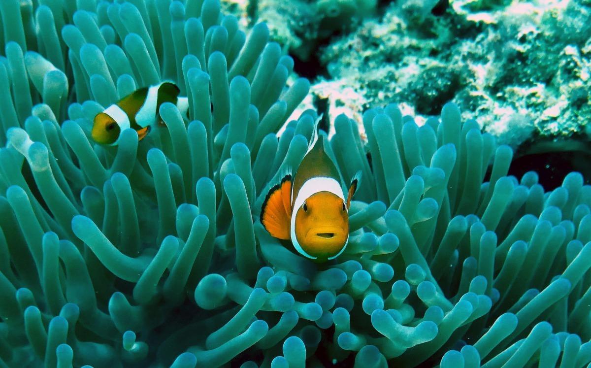 海洋生物學家魯默認為,比起「拯救尼莫」的育種計畫,想要保護小丑魚應該從保護海洋環境做起。 Photo: Ray Aucott