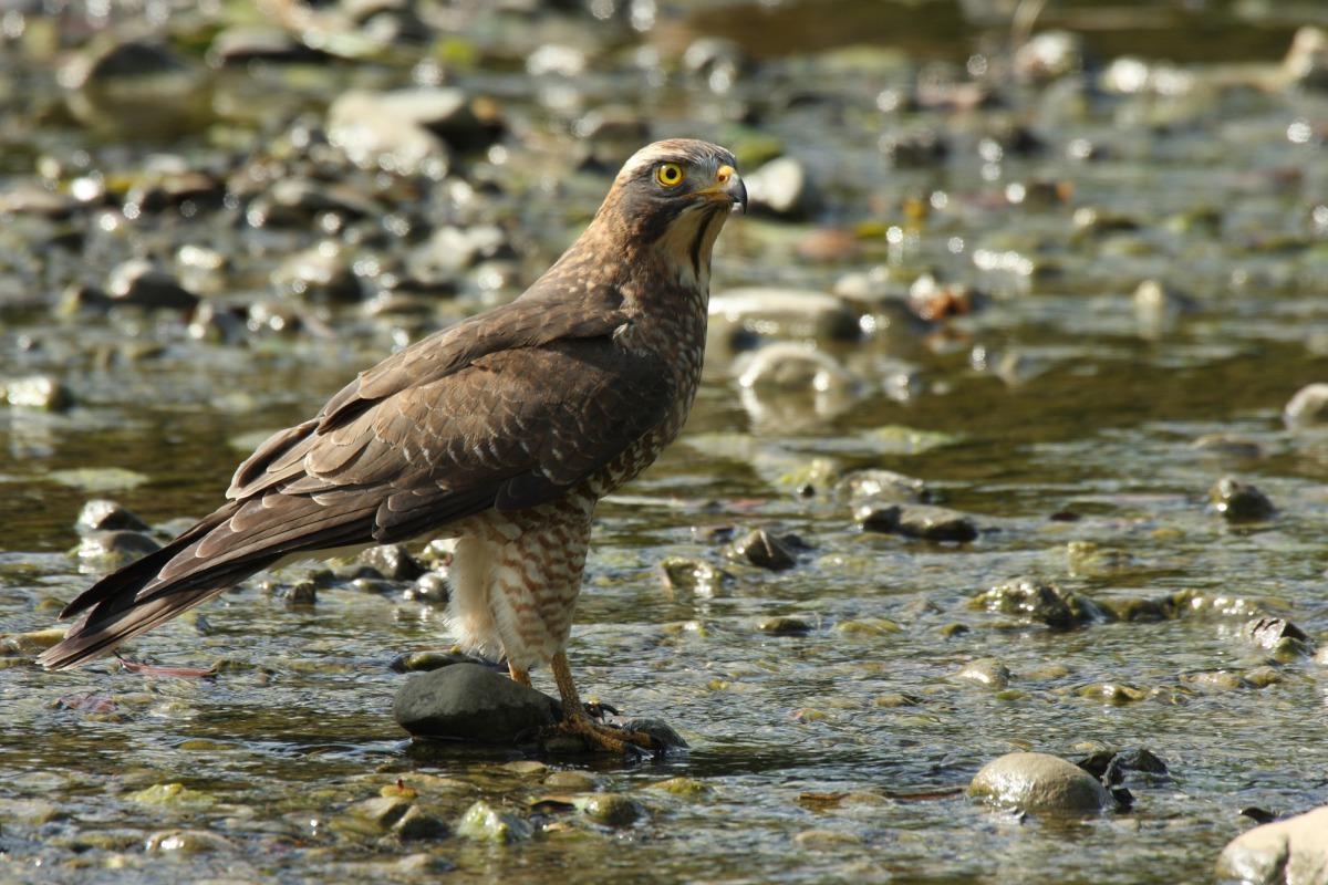 珍貴稀有的灰面鵟鷲。台灣動物新聞網 台灣猛禽研究會/提供