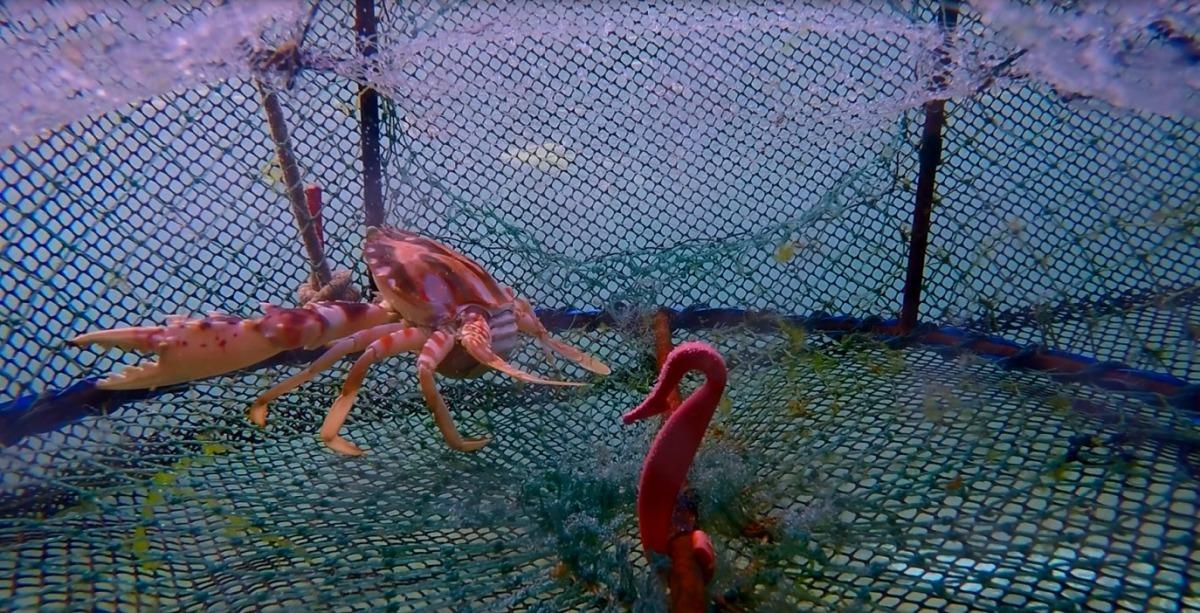 以蟹籠捕獲到的螃蟹存活率高,且外觀完整不會受傷。雨林/翻攝