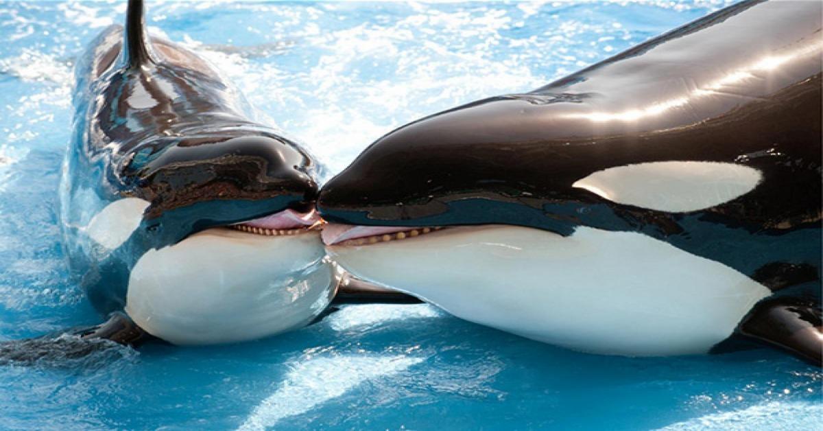 虎鯨的圖片搜尋結果