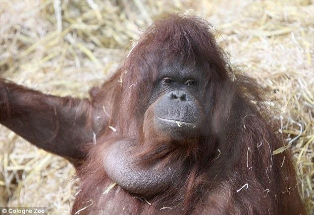 記者 李娉婷/綜合報導 猿猴開口說話聽起來是電影情節,但在德國科隆動物園(Cologne Zoo)內的一隻紅毛猩猩「蒂達」(Tilda)身上,幾乎要實現!蒂達常常會發出不尋常的聲音來吸引保育員的注意,於是專家們開始研究牠的唇舌活動,並驚訝的發現,蒂妲是在模仿人類說話!  蒂達於1960年代在婆羅洲野外出生,2歲時被人捕獲,接下來近50年的歲月都被圈養著,2007年時,牠被送到德國的科隆動物園,保育員在照顧蒂達時,發現牠會發出口哨般的聲音與一連串有旋律的唇舌點擊聲,於是一群由生物學家組成的團隊開始研究蒂達的