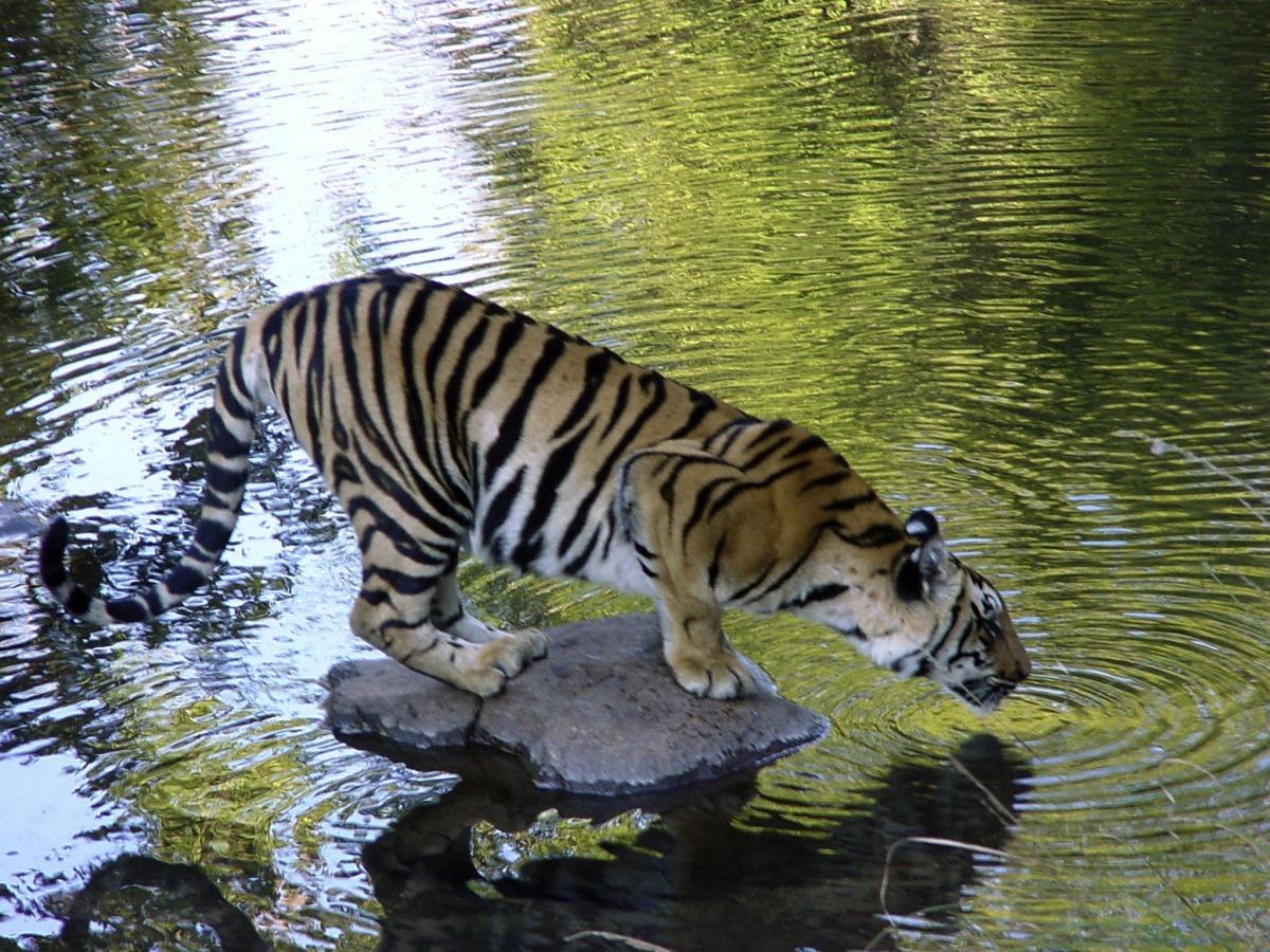 森林砍伐、農業擴張和基礎建設開發將老虎棲地切割得支離破碎。同時因亞洲藥材市場需求,老虎也面臨狩獵和盜獵威脅。 2010年老虎減少速度之快,促成了俄羅斯高峰會的舉辦。在峰會上,亞洲的老虎棲地國同意「Tx2」的目標,即在2022年前使老虎數量成長一倍。 峰會之後,尼泊爾和印度皆傳出老虎數量增加,俄羅斯東北虎的數量也在成長,中國東北方也有老虎出沒和繁殖的跡象。4月稍晚,印度將舉辦部長級會議,各國將在會議上回報進度。 這份由美國明尼蘇達大學學者喬許(Anup Joshi)主持,刊登於《Science Advanc