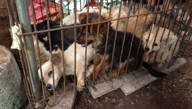狗在一些地區不只是寵物,還是食用肉。 取自The Dodo