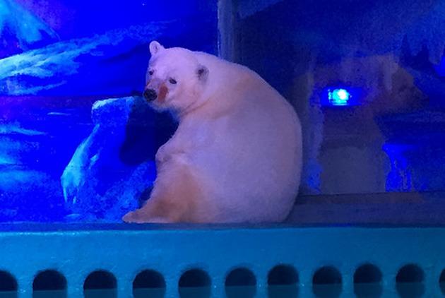 「正佳极地海洋世界」展示一只名叫「披萨」的北极熊