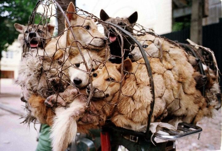 WDA表示,亞洲每年有3000萬隻狗兒被吃下肚,中國、越南、韓國三國吃下的數量就佔了其中9成。 twitter_stopyulindog