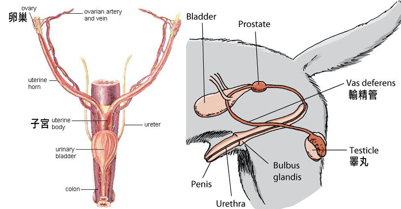 Picture Of Male Dog Reproductive System