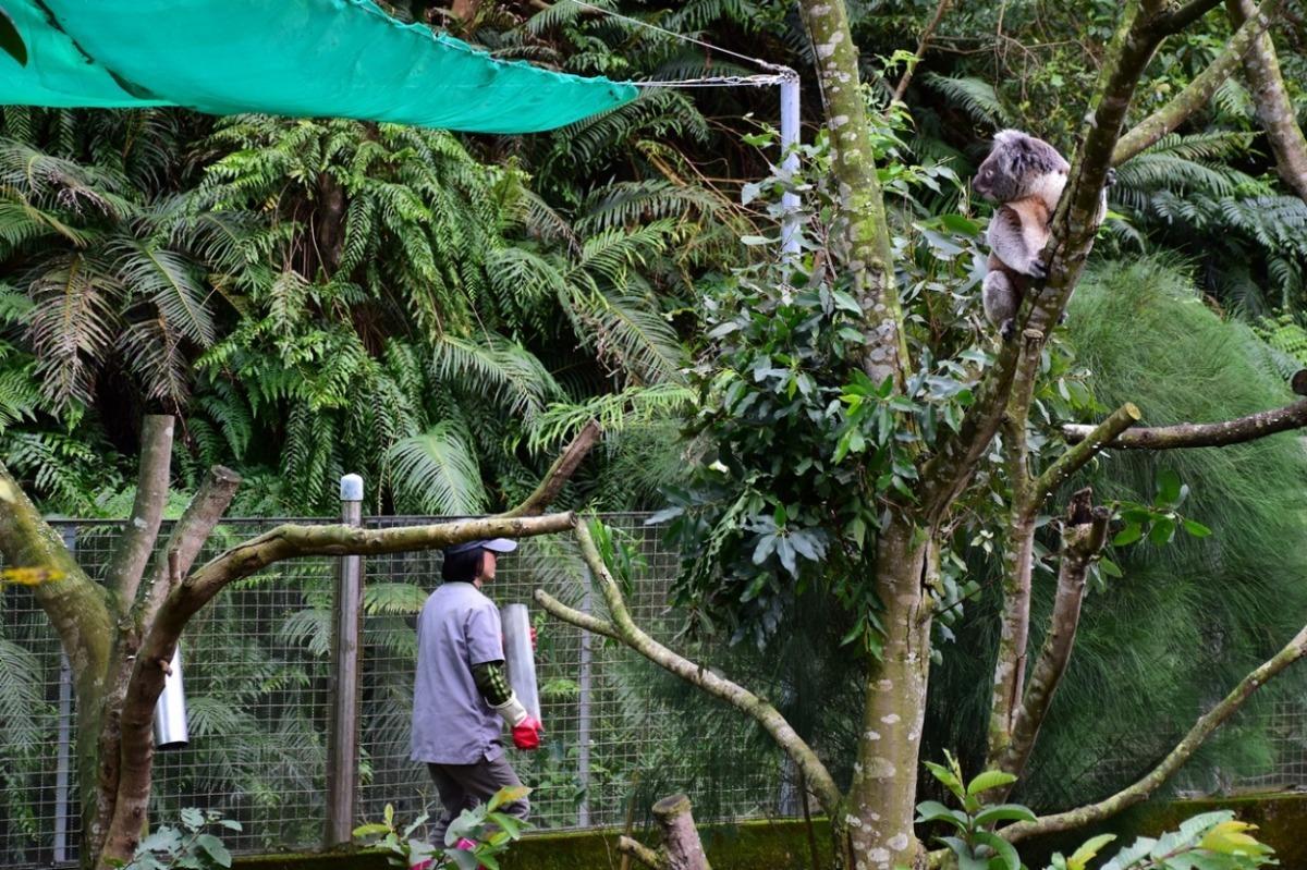 澳洲动物区的无尾熊新展场