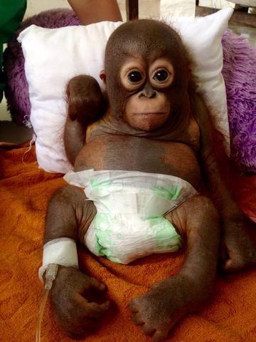 鸡笼中长大 印尼红毛猩猩获救落泪 | 台湾动物新闻网