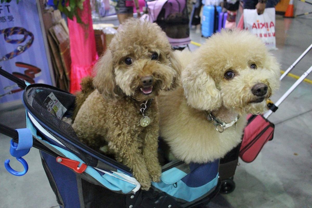 使用推車也是一種在公共場合保護狗兒的方式。示意圖,江幸芸/攝