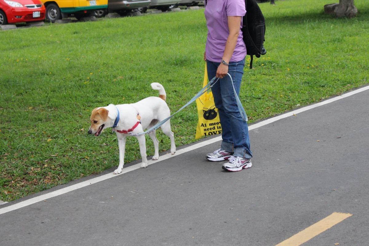 動物保護法規定飼主應避免動物遭受騷擾、虐待或傷害,在公共場合若未做妥善管理措施(繫牽繩、放推車),不只可能與他人產生糾紛,也容易害狗兒受傷。 示意圖,李娉婷/攝