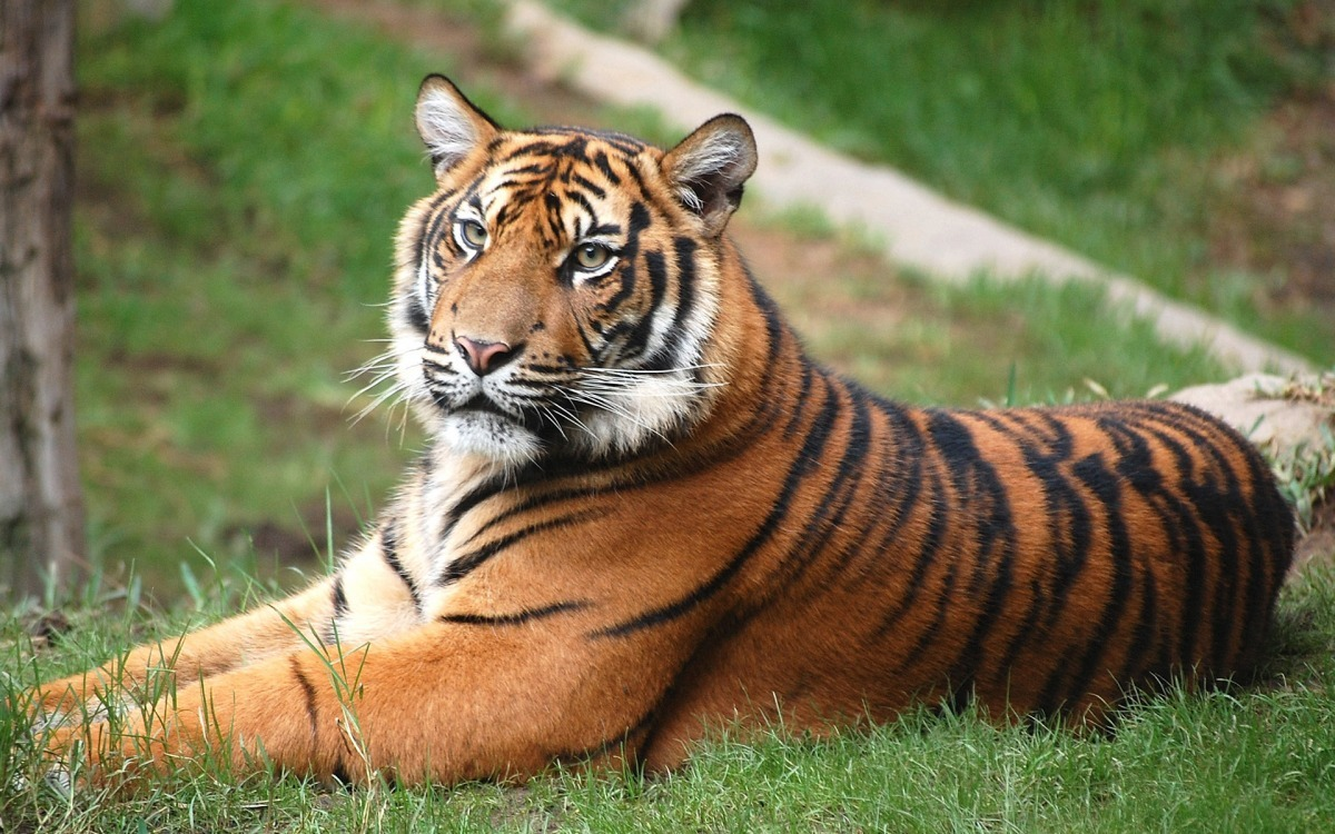 老虎被列入世界自然保护联盟(iucn)濒危物种红色名录