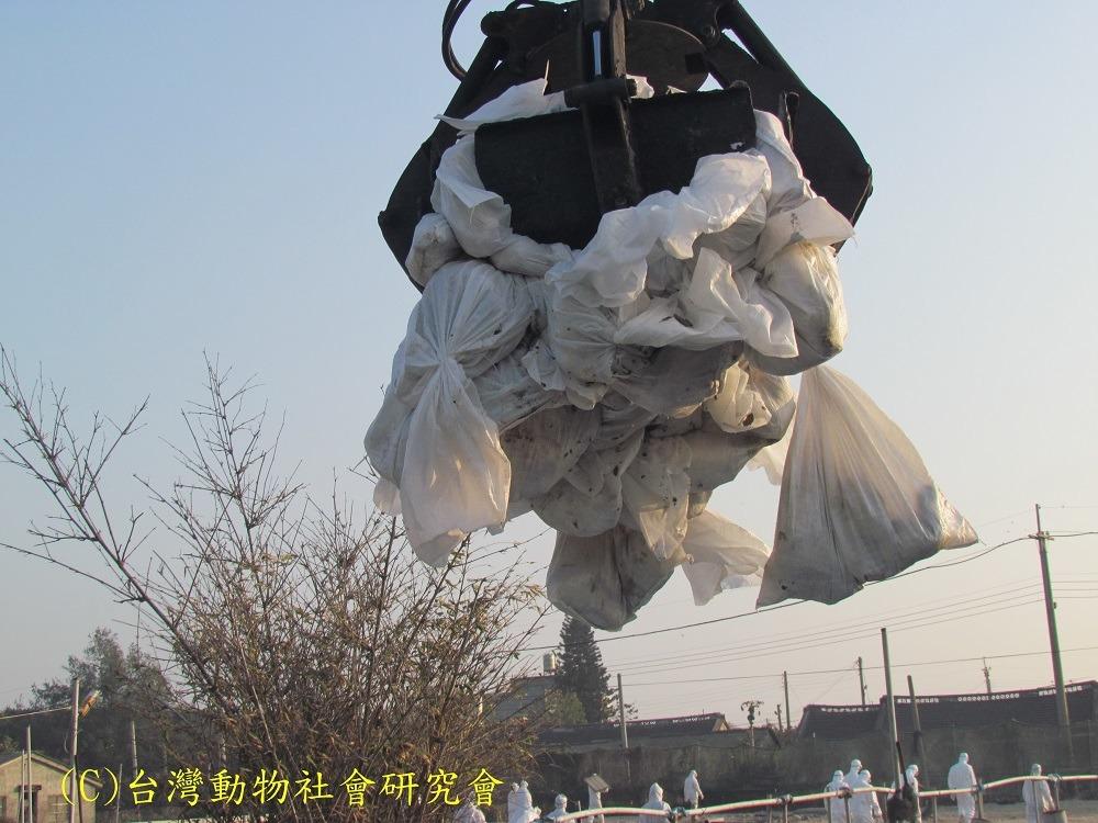 不人道扑杀 家禽惨死,防疫漏洞 | 台湾动物新闻网