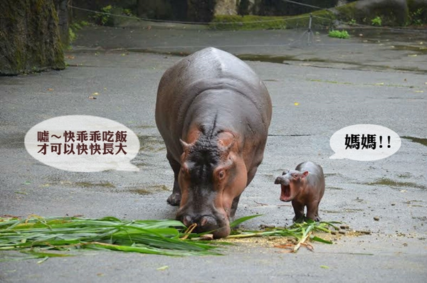 小河马雨中诞生 跟著妈妈趴趴走 | 台湾动物新闻网