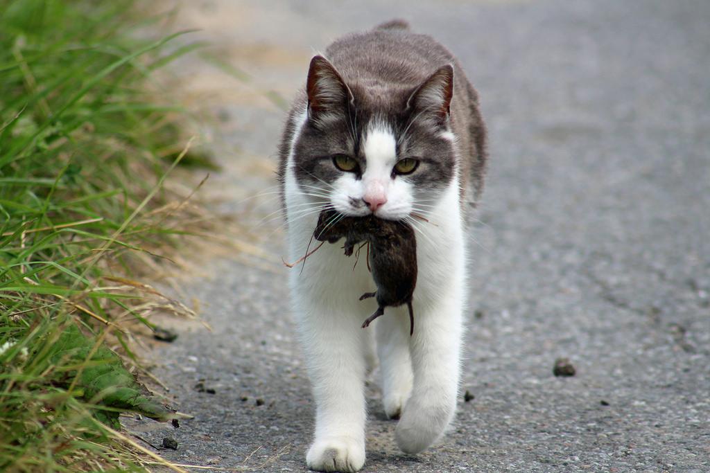 户外游荡的猫是野生动物莫大的威胁.