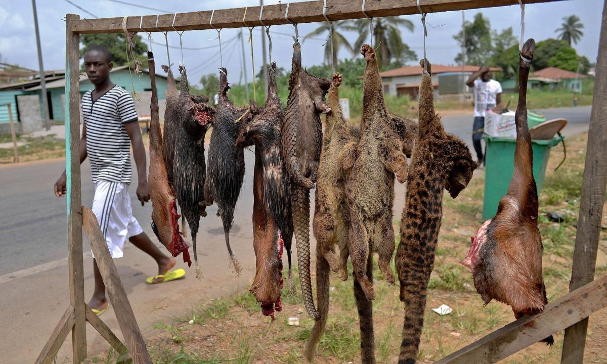 大量狩猎 逾300种哺乳动物快灭绝