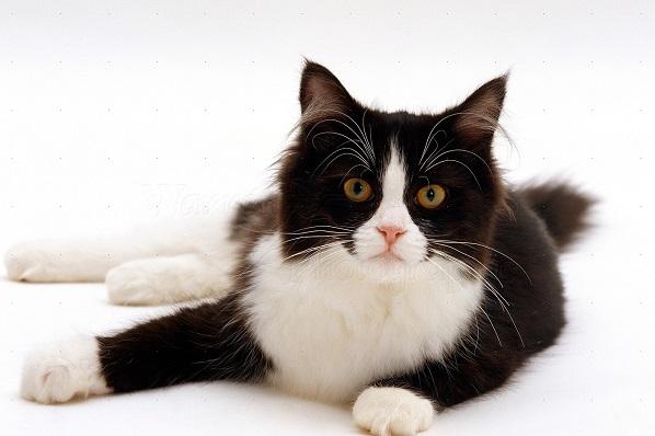 黑白花斑猫的遗传之谜 | 台湾动物新闻网