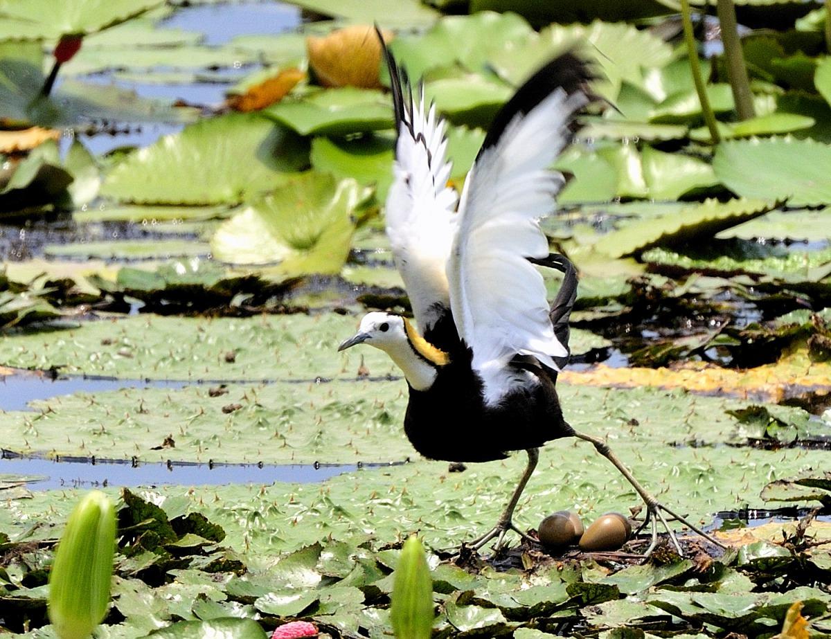 中華鳥會指出,生態系中的每個物種都扮演著不可或缺的角色,不應差別對待。圖為水雉,郭東輝/攝,中華民國野鳥學會/提供