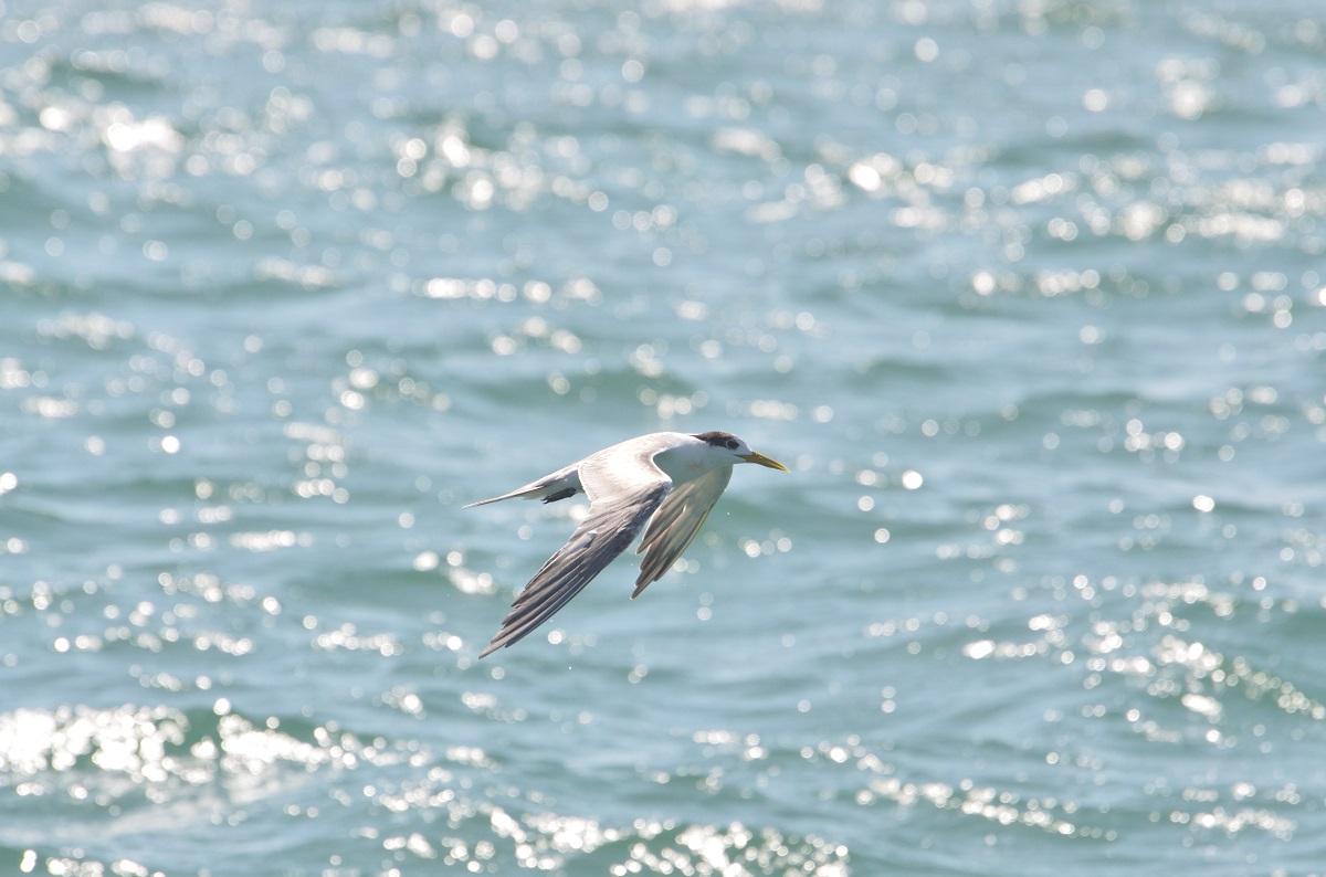 鳳頭燕鷗翱翔於海上。台北鳥會/提供
