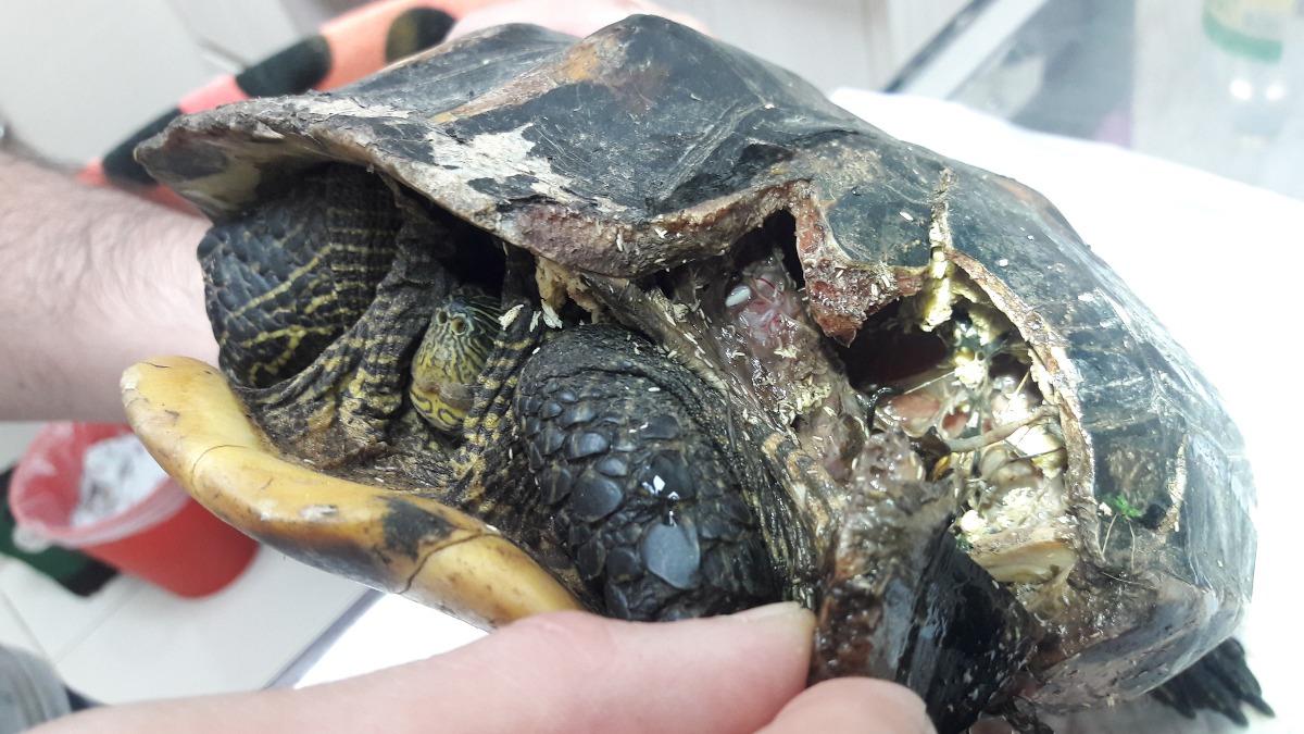 這隻30歲的龜媽媽,龜殼破掉,傷口嚴重感染,最後不幸離世。志工/提供