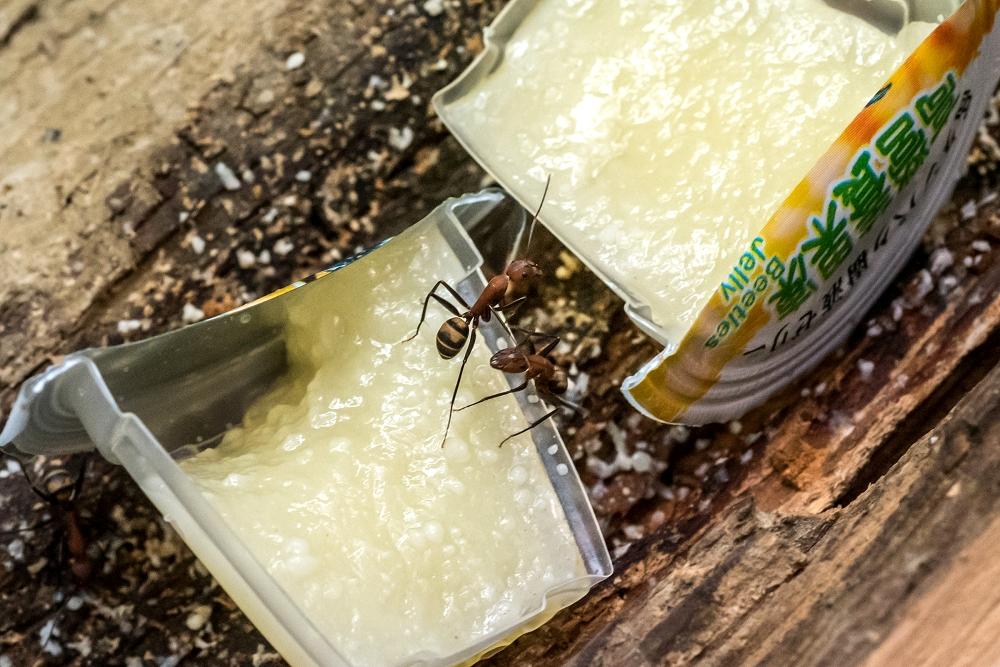 保育員會用「果凍」餵食螞蟻,並不定時更換果凍的位置,增加螞蟻經過「蟻獅」陷阱區的機會。台北市立動物園/提供