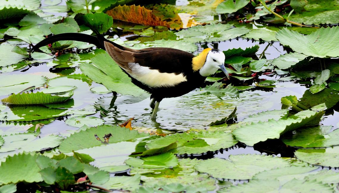 中華鳥會指出,棲地復育十分重要,民眾愛護野鳥不妨從關心棲地環境以及周邊的生物多樣性開始。圖為水雉,郭東輝/攝,中華民國野鳥學會/提供