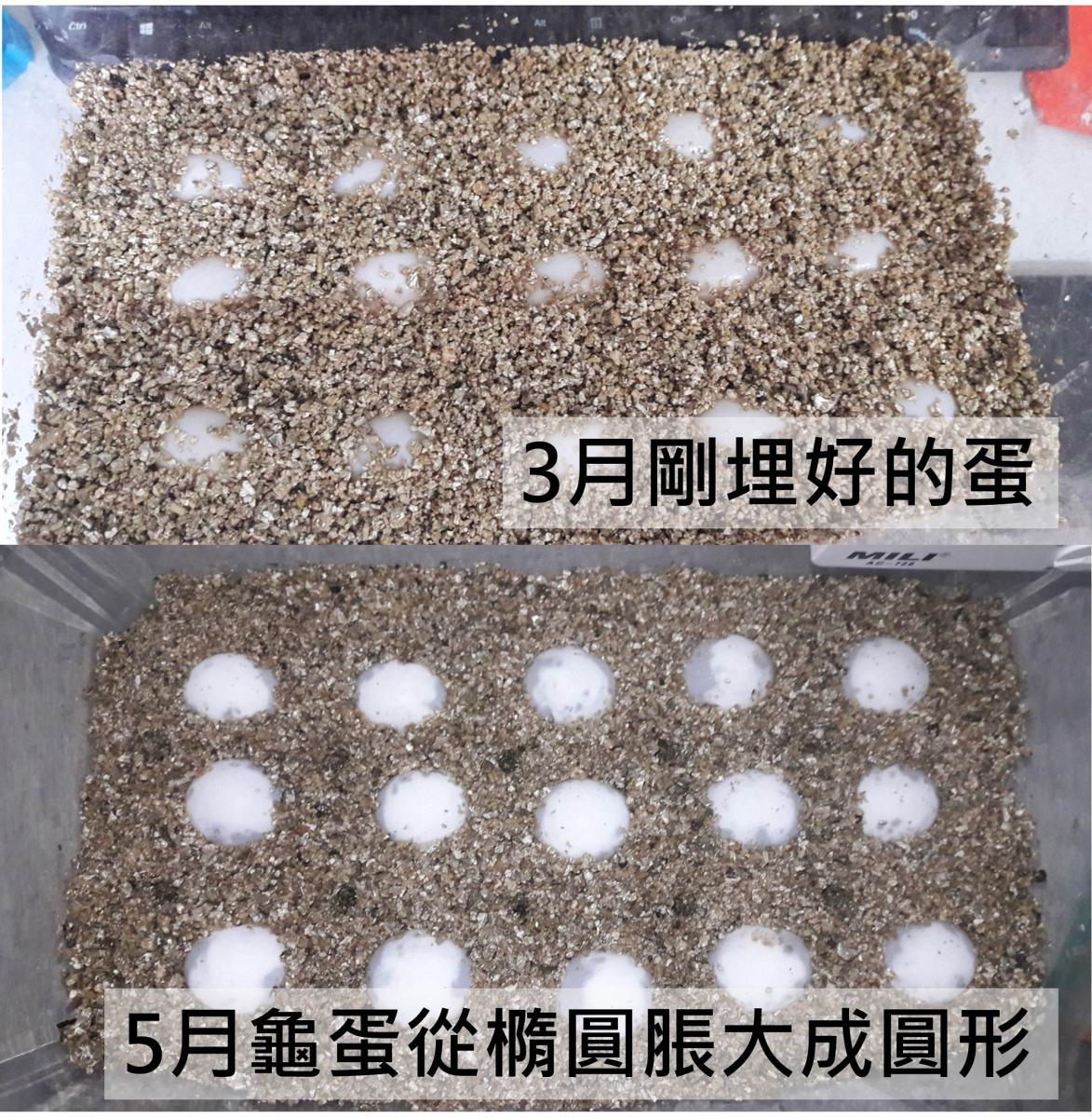 志工向花草社要了具有飽水性的蛭石,將15個蛋埋在其中,並按照專家的指示調整含水量,期待能夠看到奇蹟。志工/提供