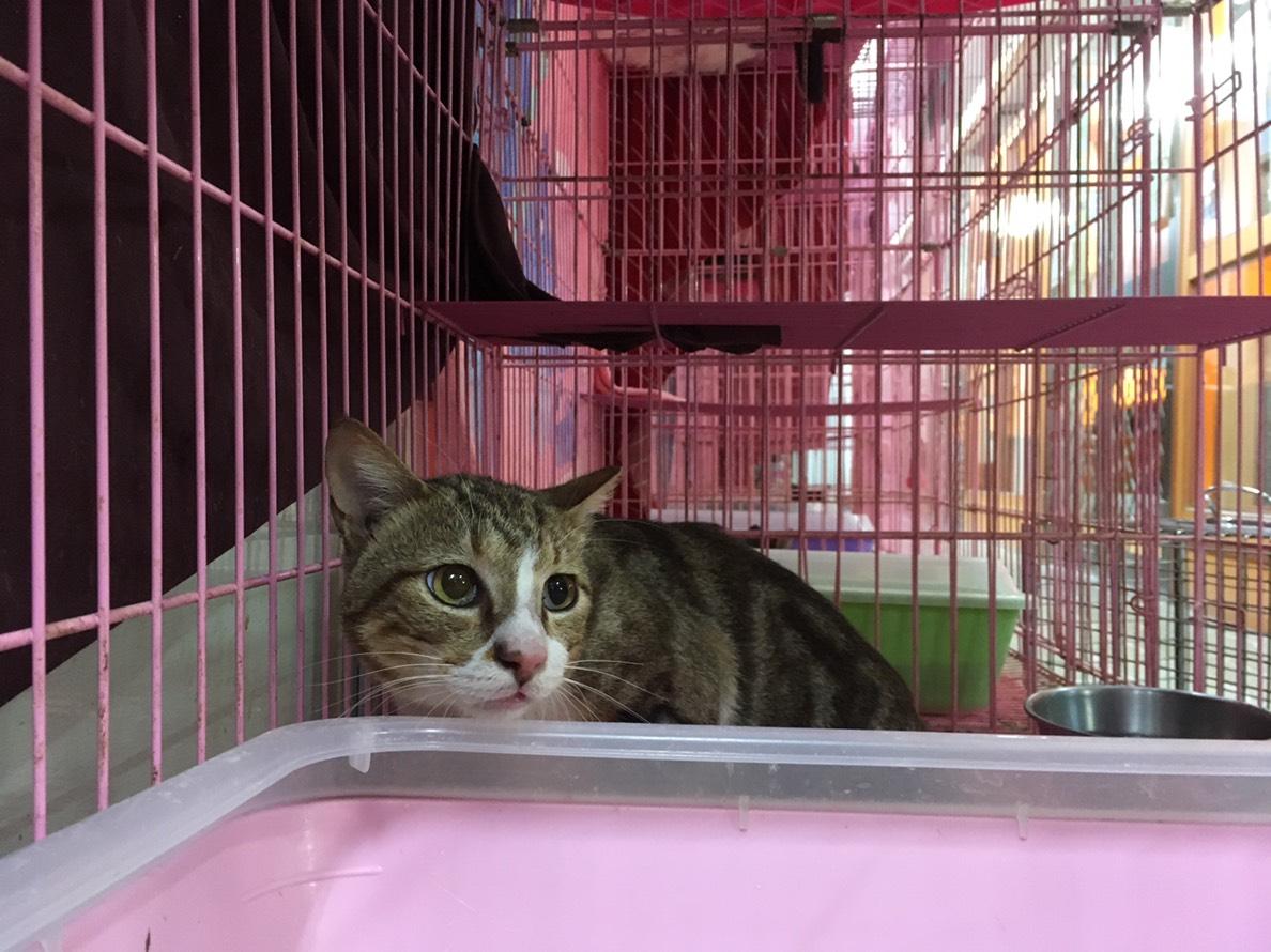 調皮可愛的浪貓在新環境有些緊張,歡迎貓奴來將牠認養回家。台北市動保處/提供