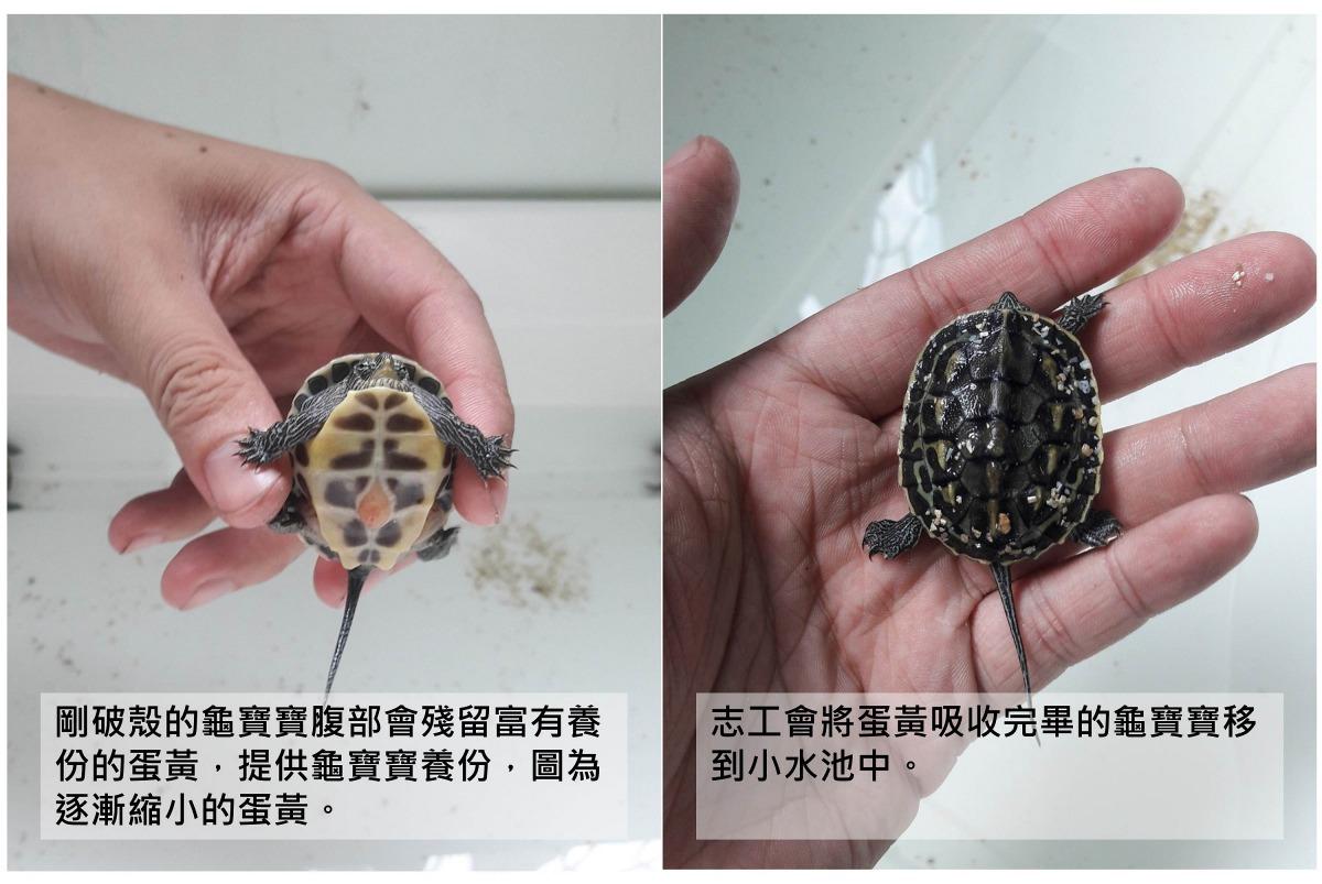 志工表示,會先照顧牠們一段時間,等龜寶寶較強壯後,會找一個合適地方將牠們野放。志工/提供