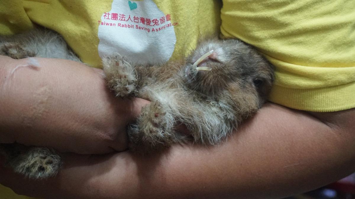兔子牙齒過長。台灣愛兔協會/提供
