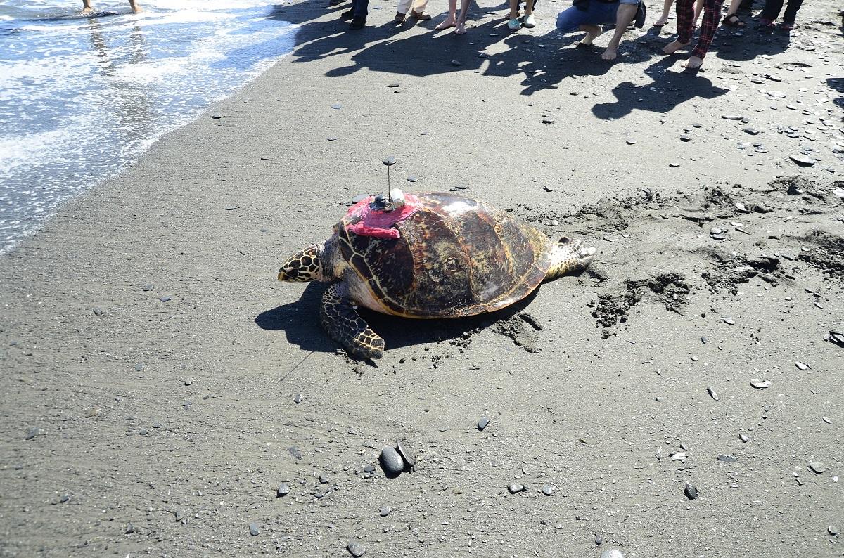 海大團隊也曾在2015年11月野放一隻名為「阿飛」的成熟母玳瑁。圖為「阿飛」野放現場,資料照,程一駿/提供