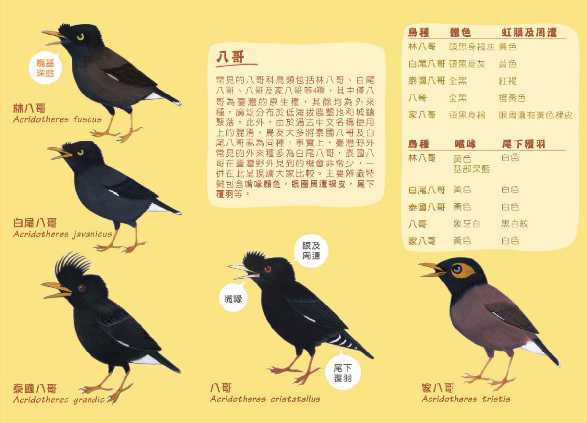 台灣原生的八哥因外來種的競爭導致族群危機。資料圖片,取自台灣繁殖鳥類大調查官網