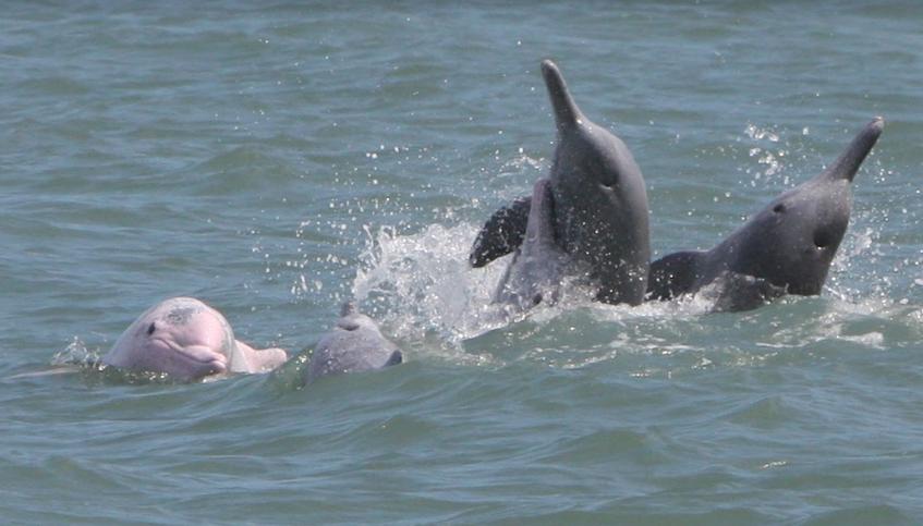 白海豚離開棲地後就不會再回來了,這對瀕臨絕種的生物來說是很嚴重的危機。台灣動物新聞網資料畫面,「台灣媽祖魚保育聯盟」授權使用,張恒嘉/攝