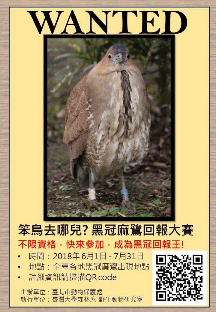 你看過這隻鳥嗎?牠是黑冠麻鷺,沒看過的話,現在讓你看看。台北市動保處/提供