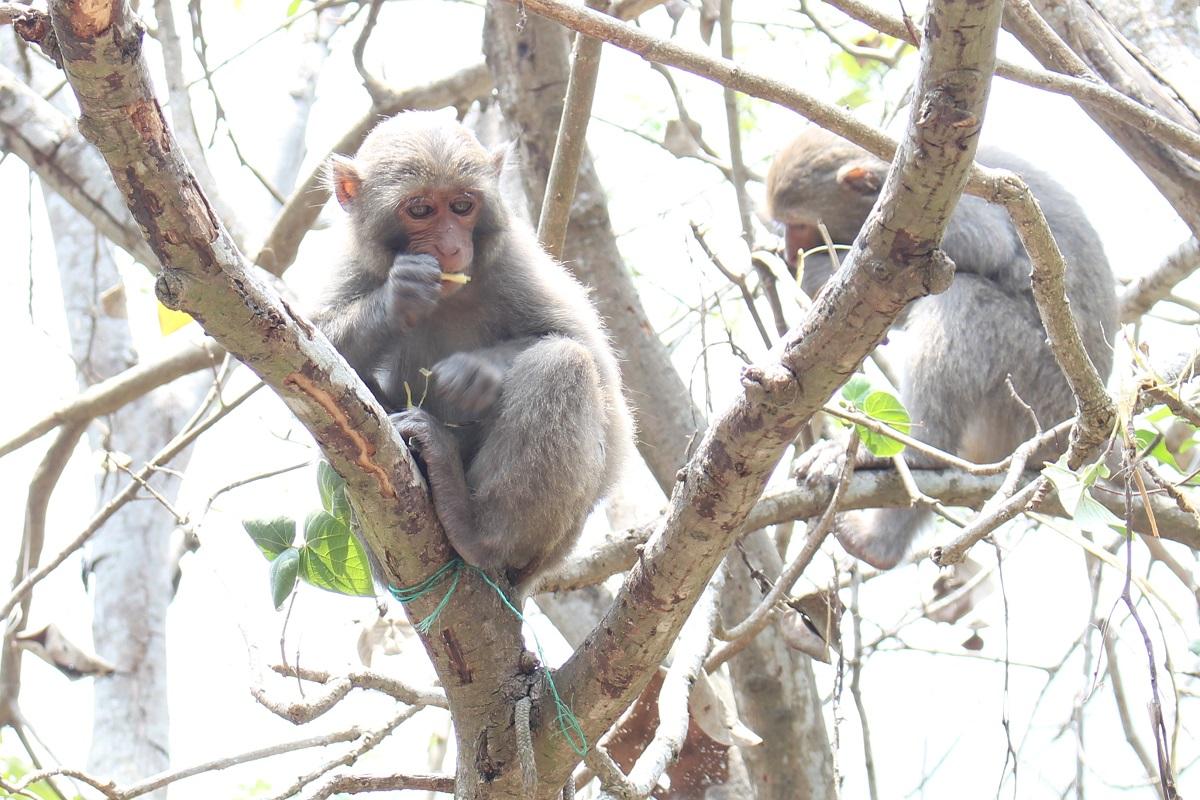 林美吟指出,政府長期以防害的角度對付台灣獼猴,人猴衝突卻沒有改善,應嘗試創造獼猴對於農民的附加價值,才是長久之道。資料照,李娉婷/攝