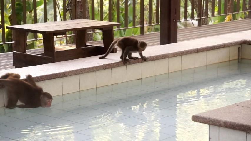 不只日本,台灣也有會泡溫泉的猴子。資料照,取自台東林區管理處網站