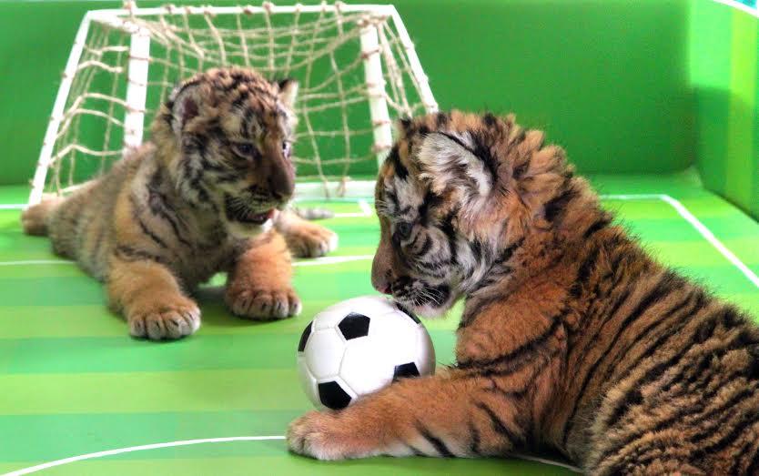 六福村小老虎兄妹 踢足球练身体