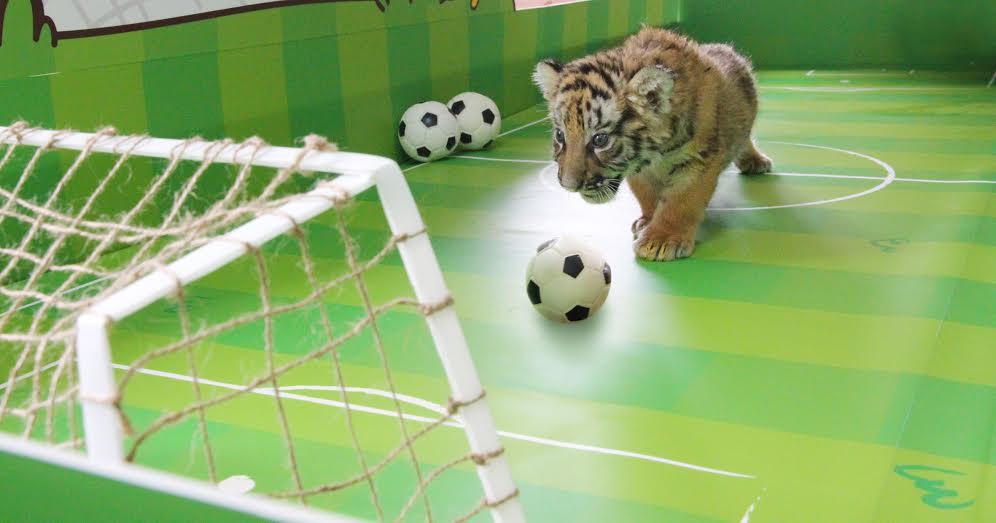 記者 李娉婷/報導 動物寶寶可不是只有台北市立動物園看的到!今年5月底六福村野生動物園誕生了兩隻小孟加拉虎,雖然牠們才一個多月大,不過最快下周六起就可以在民眾面前亮相,這周小老虎們在媒體前搶先曝光,搭上世足熱潮玩足球。  新手虎媽媽因為不會照料小老虎,在小老虎兄妹出生後不久就把牠們棄養了,好在保育員和獸醫團隊有過相關輔育經驗,接手兼任母職輪班餵養,如今兩隻小老虎被照顧的頭好壯壯、活力十足。 小老虎跟人類寶寶一樣,喝奶時哭喊、掙扎、耍賴樣樣來,保育員還要幫小虎進行催排便,照顧起來相當辛苦,但小老虎兄妹在這麼