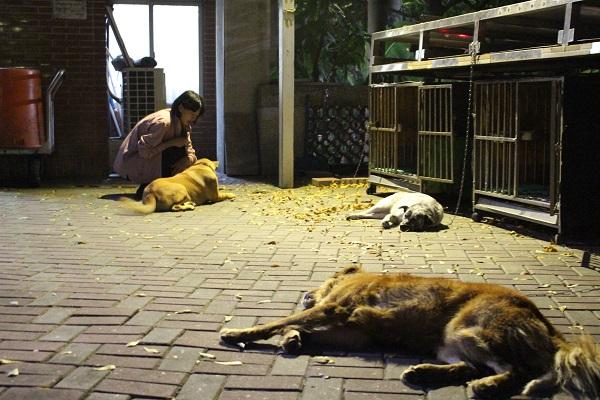 文學院的守護犬皮皮、喬妹與胖弟,牠們白天能自由活動,夜晚有自己的小窩。別看牠們看到人就露出肚肚,要是有陌生狗或者獼猴出現,牠們可是會發脾氣的! 李娉婷/攝