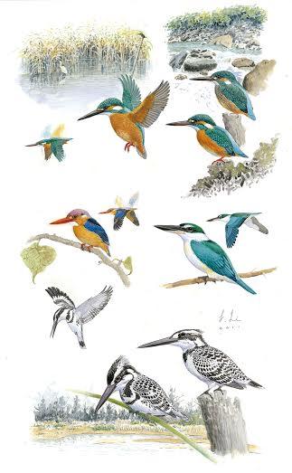台湾野鸟手绘图鉴中「翠鸟科」的手绘图,栖地与飞行姿态都在图面上