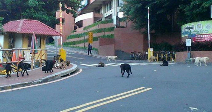 過去光是校園內的一小角,就有這麼多的流浪狗。 中山大學校園流浪犬專案小組/提供