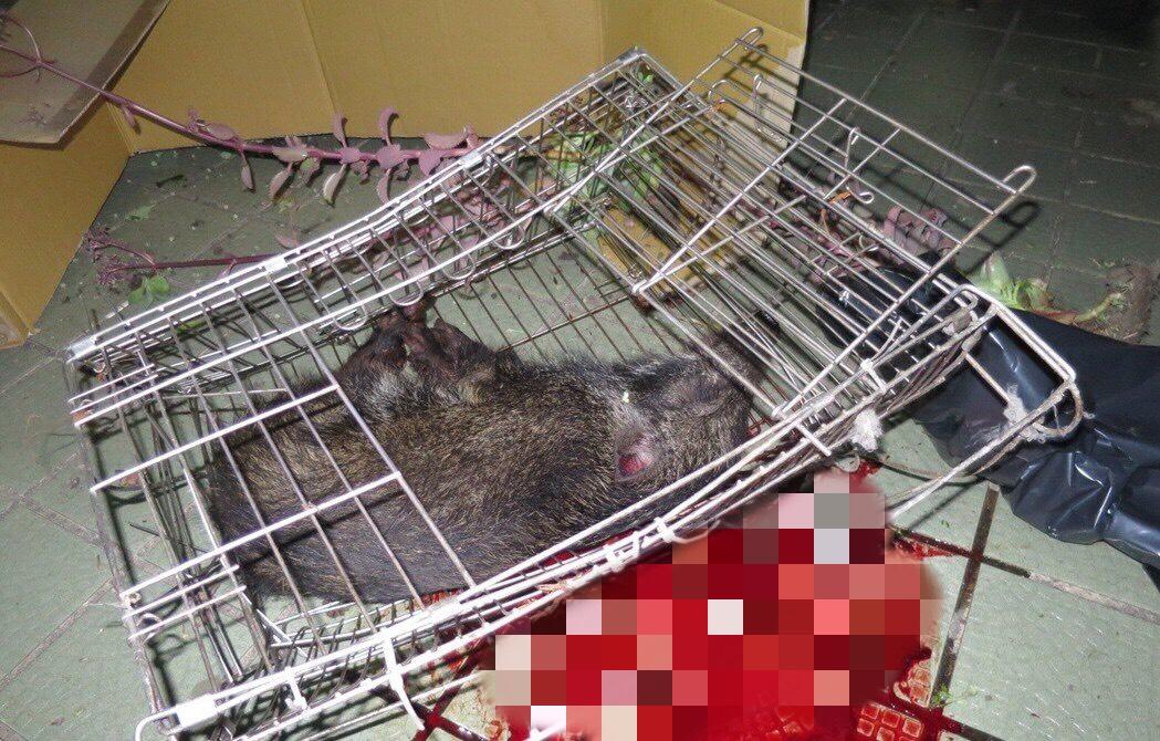 日前在台中發生飼主因心情不好將山豬丟下樓,造成山豬當場死亡。 台中市警察局/提供
