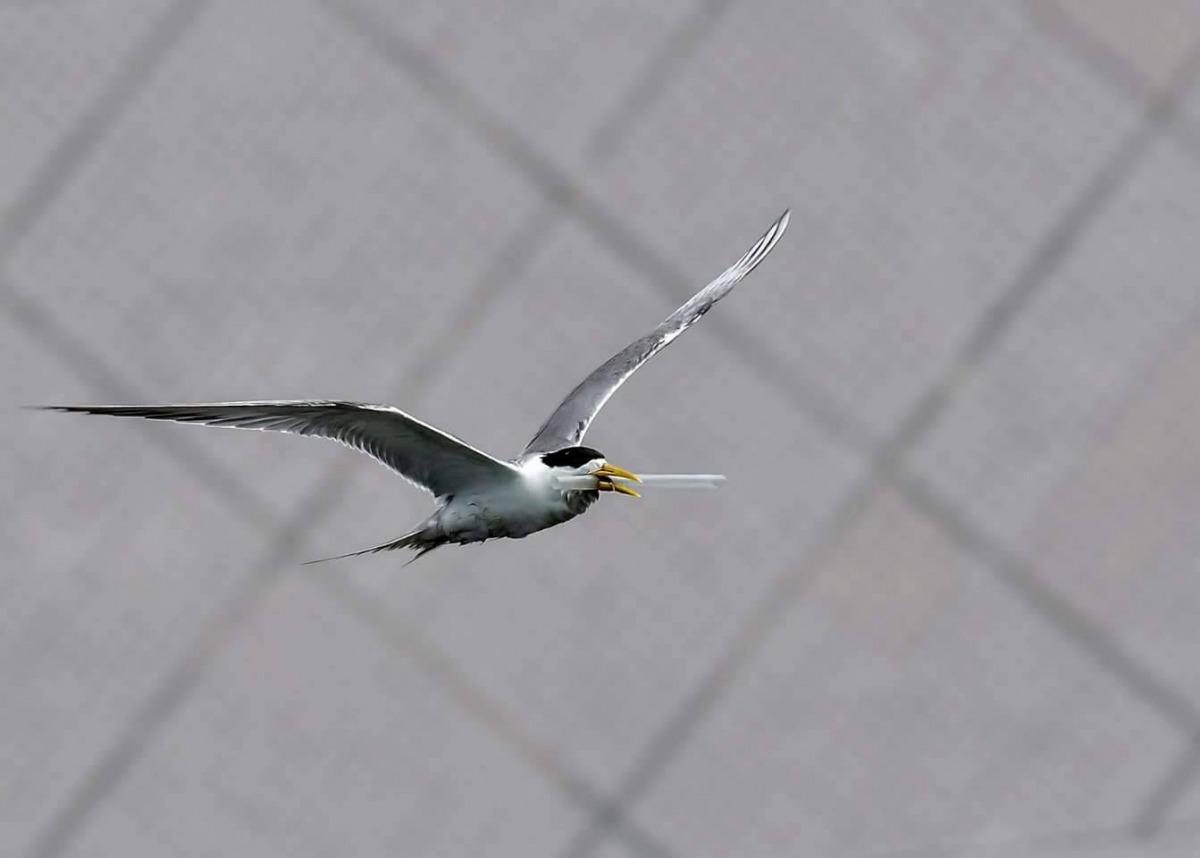日前有鳥友在大溪漁港拍攝到鳳頭燕鷗嘴巴卡著一根吸管。 拍鳥俱樂部吳姓鳥友/提供