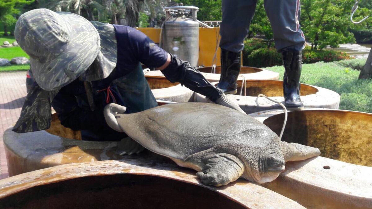 工程人員在進行豐樂公園水池清淤時,意外發現保育類「鼋」。 台中市政府/提供
