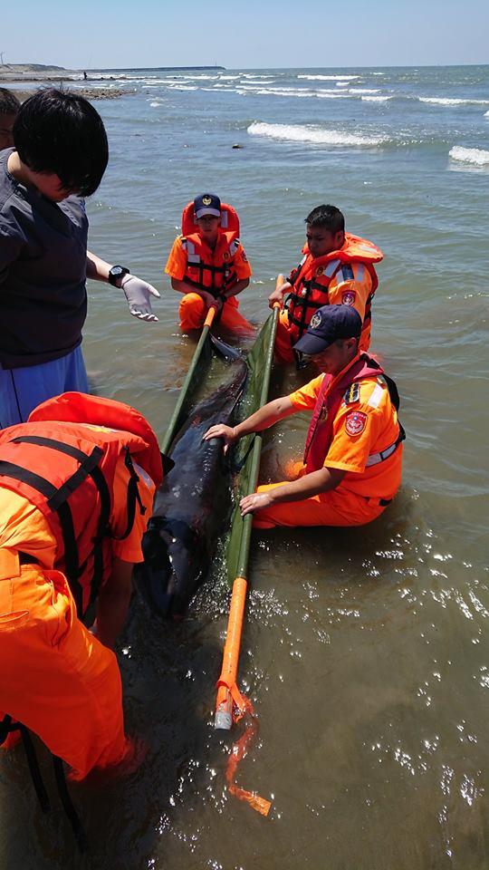 苗栗縣苑裡鎮出水里社區前方海堤有一隻保育類鯨豚擱淺。 中華鯨豚協會/提供