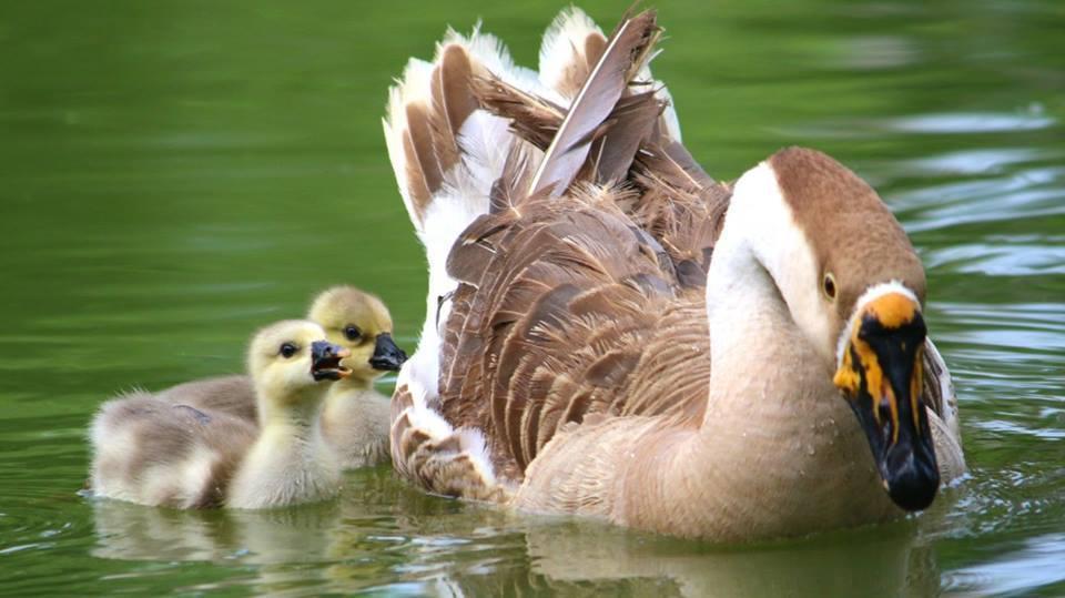今年5月剛出生於大湖公園的幼鵝「大寶」、「小寶」依偎在鵝媽媽「小比」旁。 溫芳玲/提供