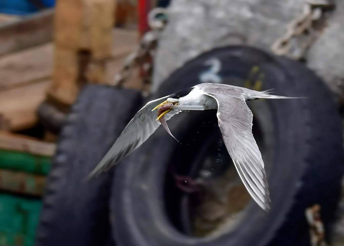 鳳頭燕鷗嘴巴被吸管卡住,只能叼著一條魚而無法吞下肚。 拍鳥俱樂部吳姓鳥友/提供