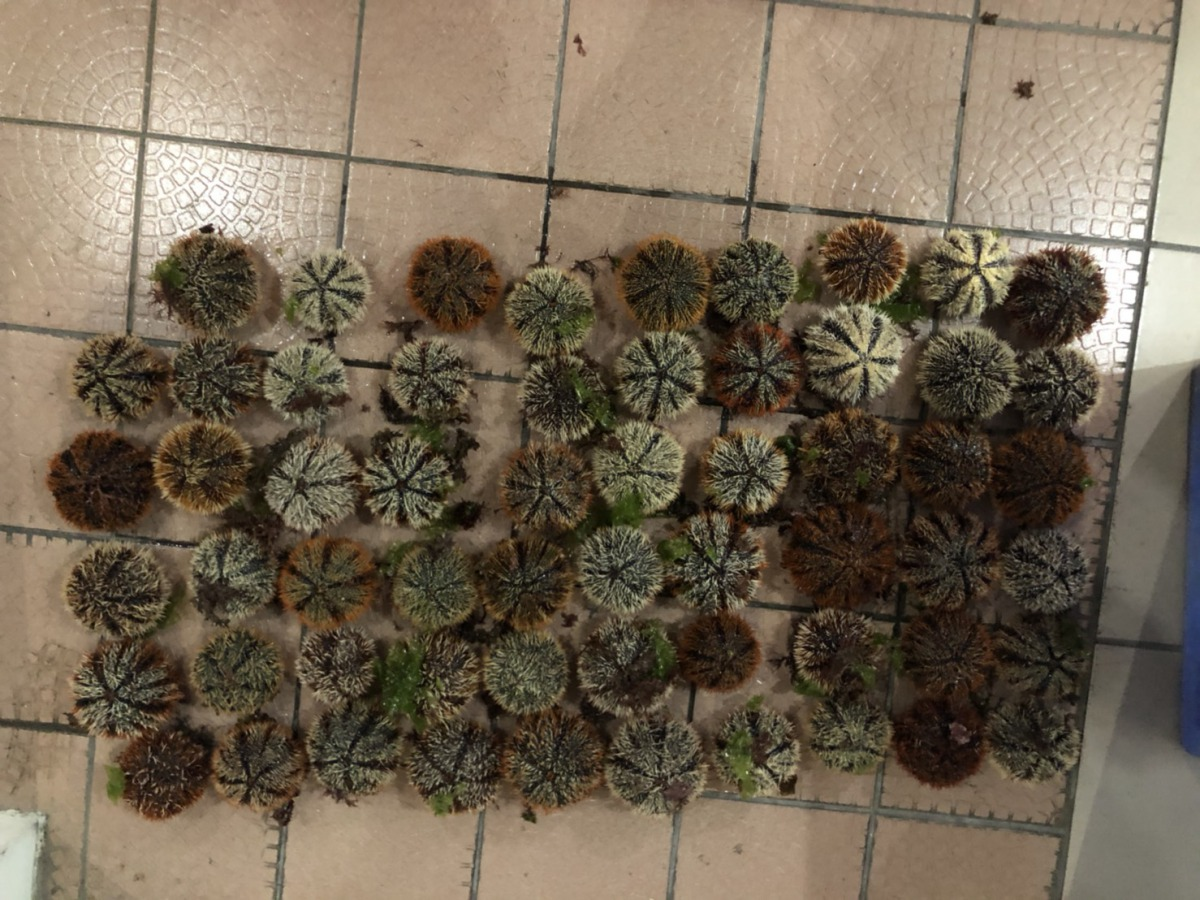 海巡隊查獲民眾在卯澳灣保育區盜捕59顆海膽。海巡署第二岸巡隊/提供